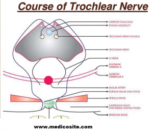 Course of Trochlear Nerve.