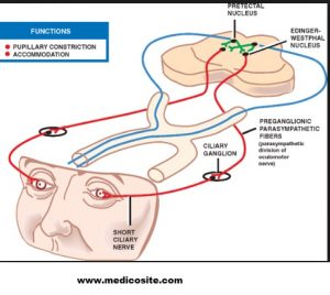 Function of Oculomotor Nerve