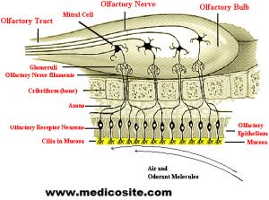 Olfactory Receptor Cells