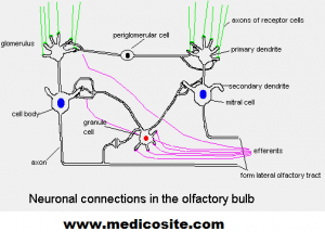 neuronal connection in the olfactory bulb