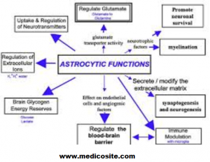 Function of Astrocytes